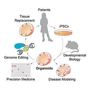 Amazing Science, Bold Medicine Center for Stem Cell and Organoid Medicine (CuSTOM)
